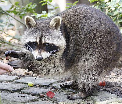 Fütterung im Gehege der Waschbären im Zoo Osnabrück