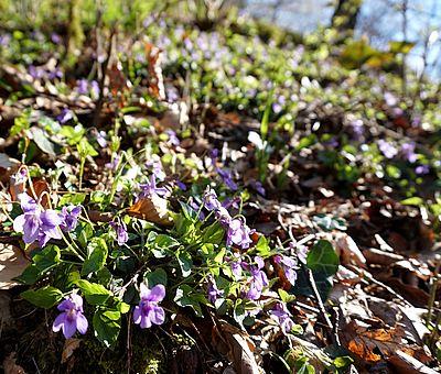 Im Frühling verwandelt sich der Freeden in Bad Iburg in ein buntes Blütenmeer