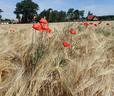 Mohnblumen auf einem Kornfeld entlang der GartenTraum-Tour