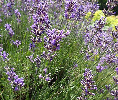 Duftender Lavendel im Garten.