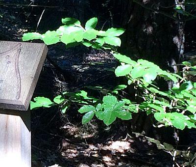 """Dem Besucher im Waldgebiet Maiburg in Bippen zeigt das Fuchssymbol den Weg entlang des Waldlehrpfads """"Vosspäddken""""."""
