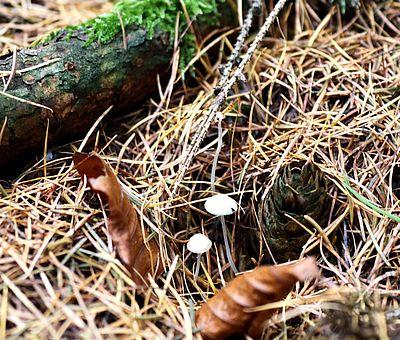 Eine Wandertour im Herbst hält unseren Kreislauf fit und außerdem gibt es im Herbstwald eine Menge zu entdecken. Auf den Gesundheitspfaden in Bad Essen ist dieses Foto entstanden. Unter einem herbstlich verfärbten Nadelbaum stehen zwei weiße Pilze.