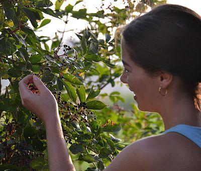 Holunderblüten und Holunderbeeren in Bad Essen sind ein ganz besonderer Genuss.