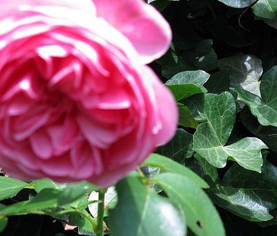 Eine blühende Rose in einem Garten entlang der GartenTraum-Tour.